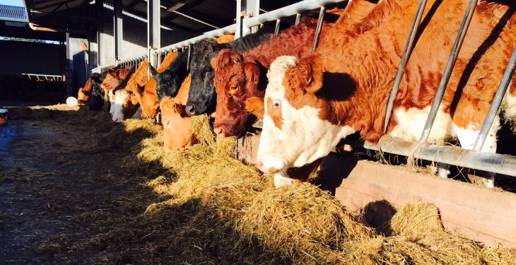 What should you be feeding spring-calving suckler cows over the winter?