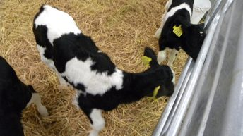 Still over 1,100 PI BVD calves alive on Irish farms