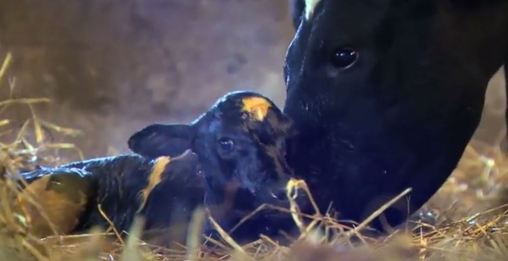 Video: Ear to the Ground focuses on dairy bull calves and hill farming