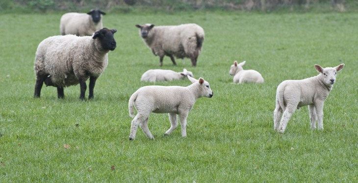 Maternal ewes have helped combat lower lamb price – Welsh sheep farmer