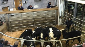 Cattle marts: Age and weight price cuts 'a way for factories to buy cheap beef'