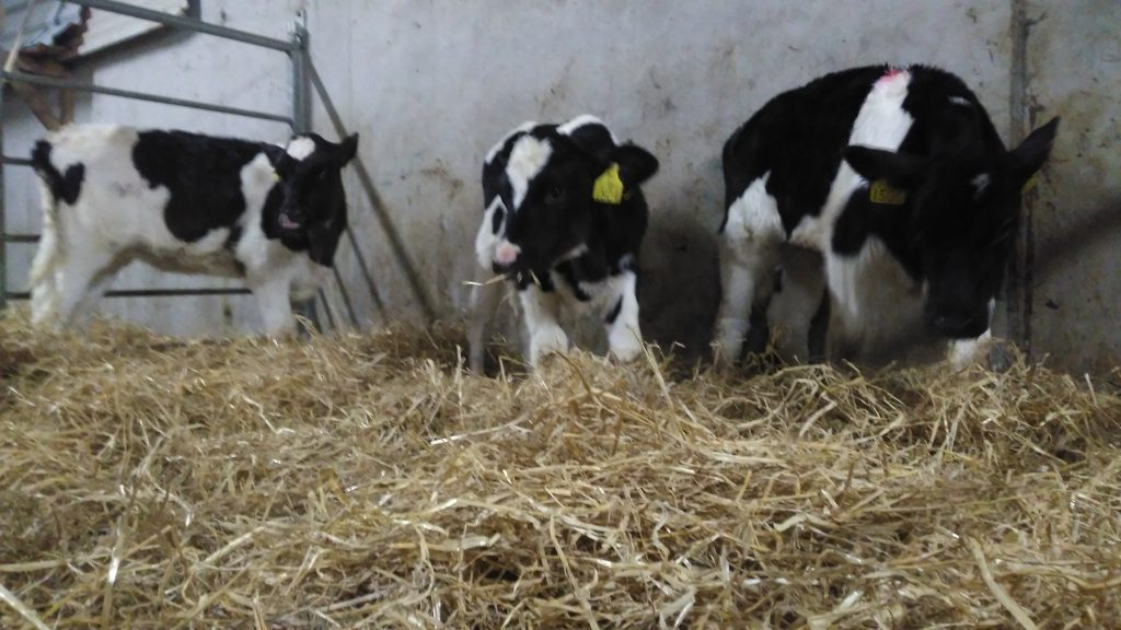 Some lovely calves from Shrule Co.Mayo