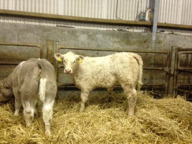 Fergal mc Dermott, with some nice calves