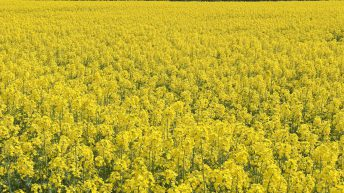 Winter oilseed rape area up significantly