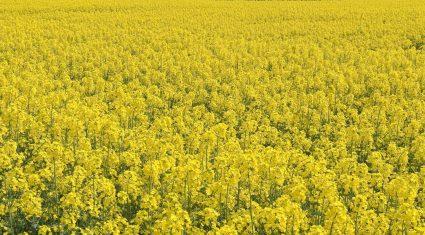 Why breed bee-friendly oilseed rape varieties?
