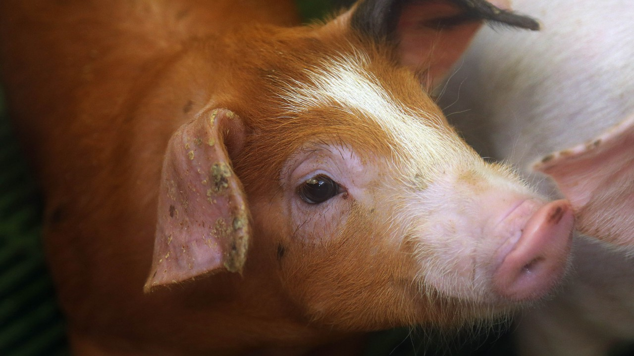 The future of Northern Ireland's pig industry is in doubt – UFU