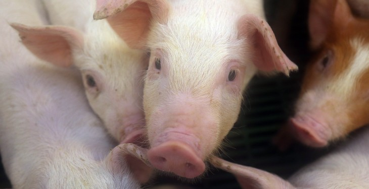 Pig farmers to receive €3,000 payment under direct aid scheme