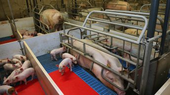 Russia plans 1.2m head pig farm to supply Chinese market