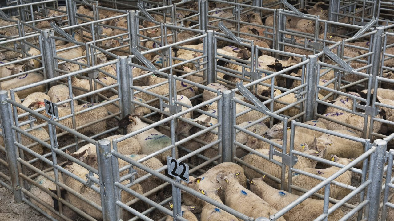 Spring lamb prices ease slightly at the ringside
