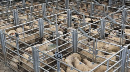 Top-quality breeding hoggets hit €212/head