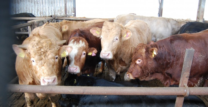 Week-on-week prime cattle kill continues to fall – Department
