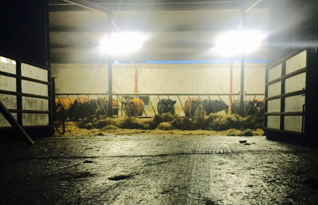 beef shed at night