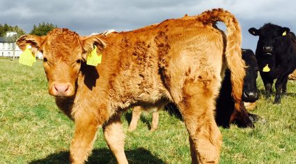 Farmers who retain BVD-infected calves 'pose a risk to the entire industry'