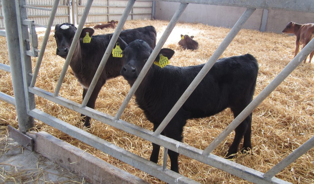 Episode 2 of 'The Calf Show' series is now live – Calf feeding and maintaining hygiene