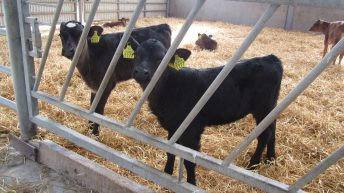 Are you feeding your calves enough as the 'cold snap' approaches?