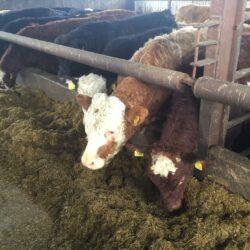 beef price fodder