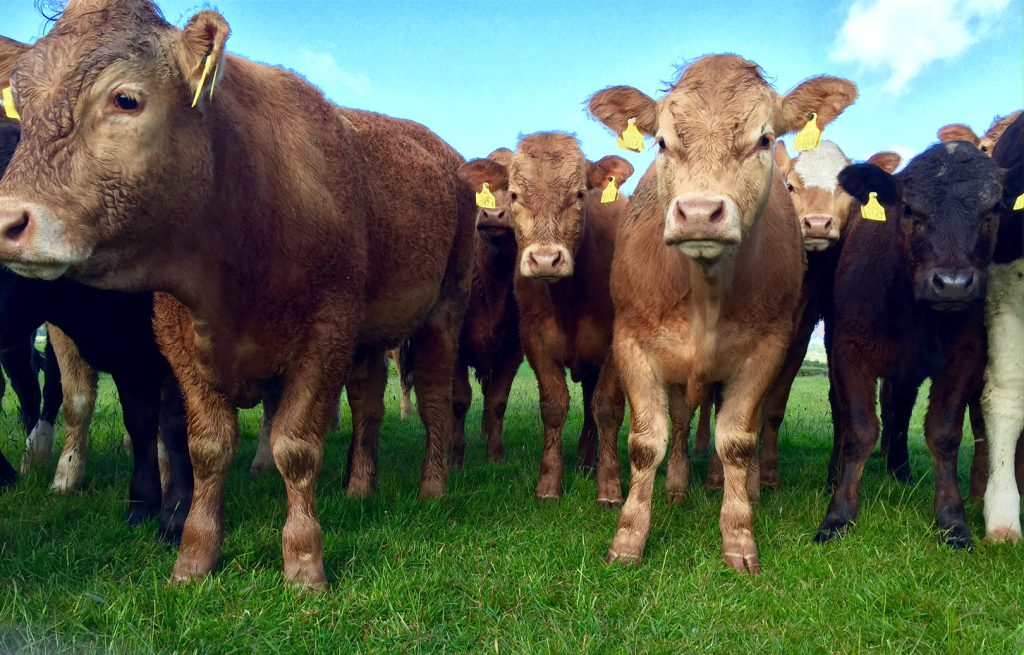 Organic beef factories