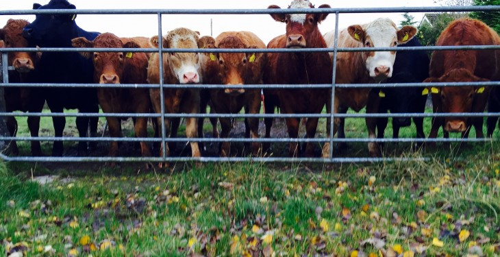 Why low protein feed is better for finishing cattle on autumn grass?