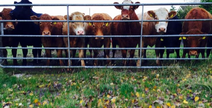 38% of Northern Irish steer carcasses fail to met retail spec – LMC