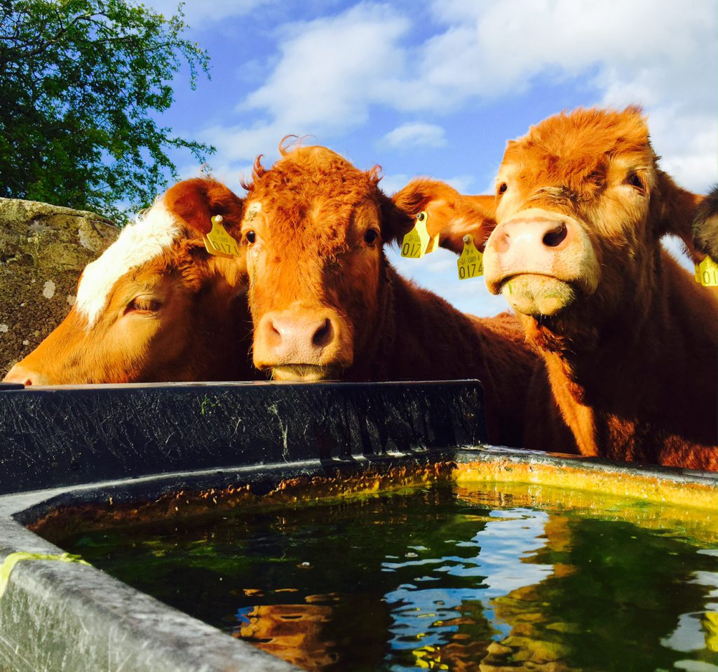 Benefits of feeding seaweed to cattle 'must be seriously looked at