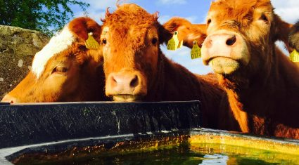 Benefits of feeding seaweed to cattle 'must be seriously looked at'