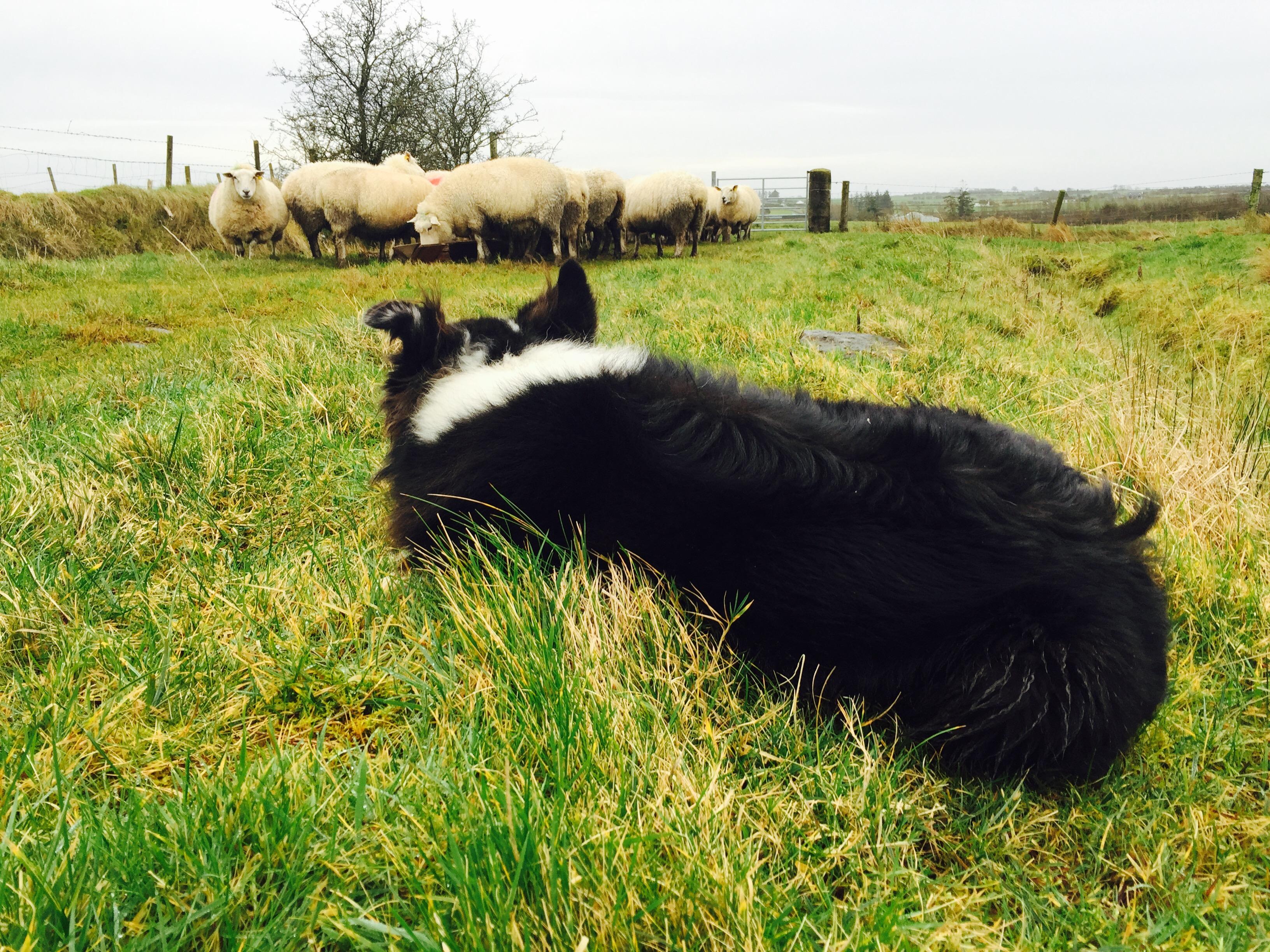 dog and sheep winter nice