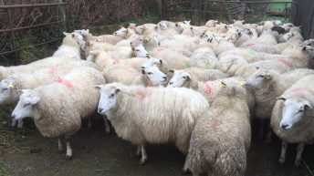 Are lame sheep a problem on your farm? Maybe it's because of genetics