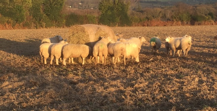 Ewes should be vaccinated four-to-six weeks before lambing – Department vet