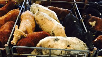 Cull cows sell up to €2.24/kg at Ennis Mart