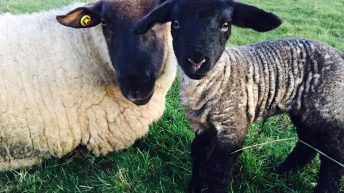 Lambs will not 'burst' if they're fed 5 or 6 syringes of colostrum –  Teagasc