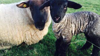 12 lambs in 2 years: Athenry ewe 'defies the odds'