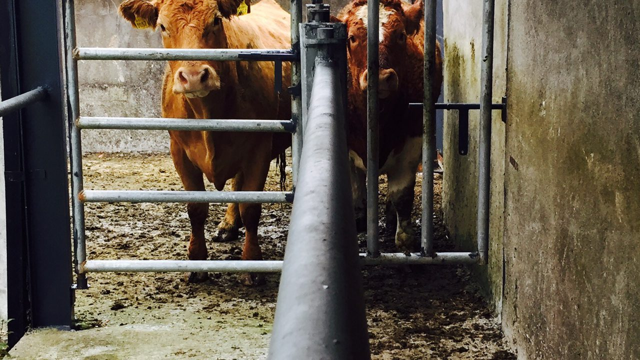 'Putting heavily in-calf cows up cattle crush for Genomics inspections unnecessary'