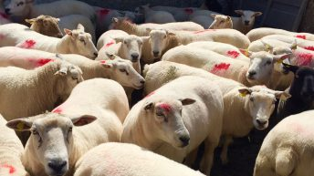 Sheep supply to factories continues to fall