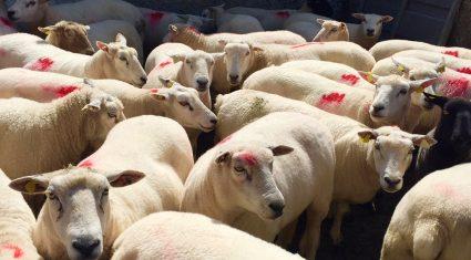 Weekly sheep kill figures remain steady