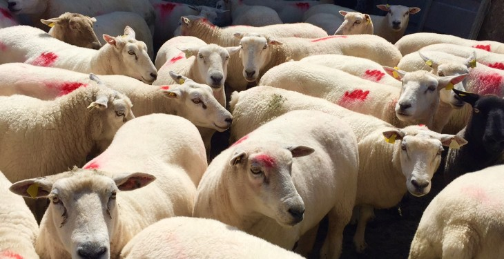 3 things that made the Irish sheepmeat sector deliver a solid performance in 2015
