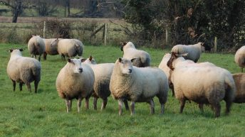 UK farmers facing an 80% chance of a bluetongue outbreak