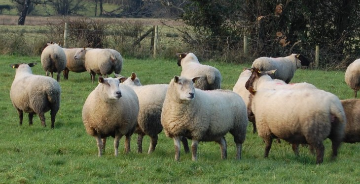 Countdown is on for farmers to return sheep and goat census forms