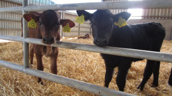 Calving this spring? Some great advice on farm safety around calving cows