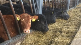 Pics & video: Behind the scenes on an organic farm finishing 700 cattle