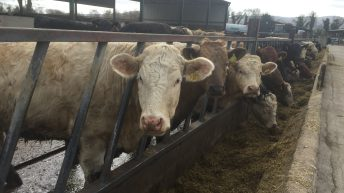 Managing herd health key when making the switch to organic beef