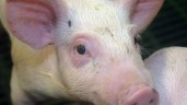 NI farmer banned from keeping animals for life after mistreating pigs