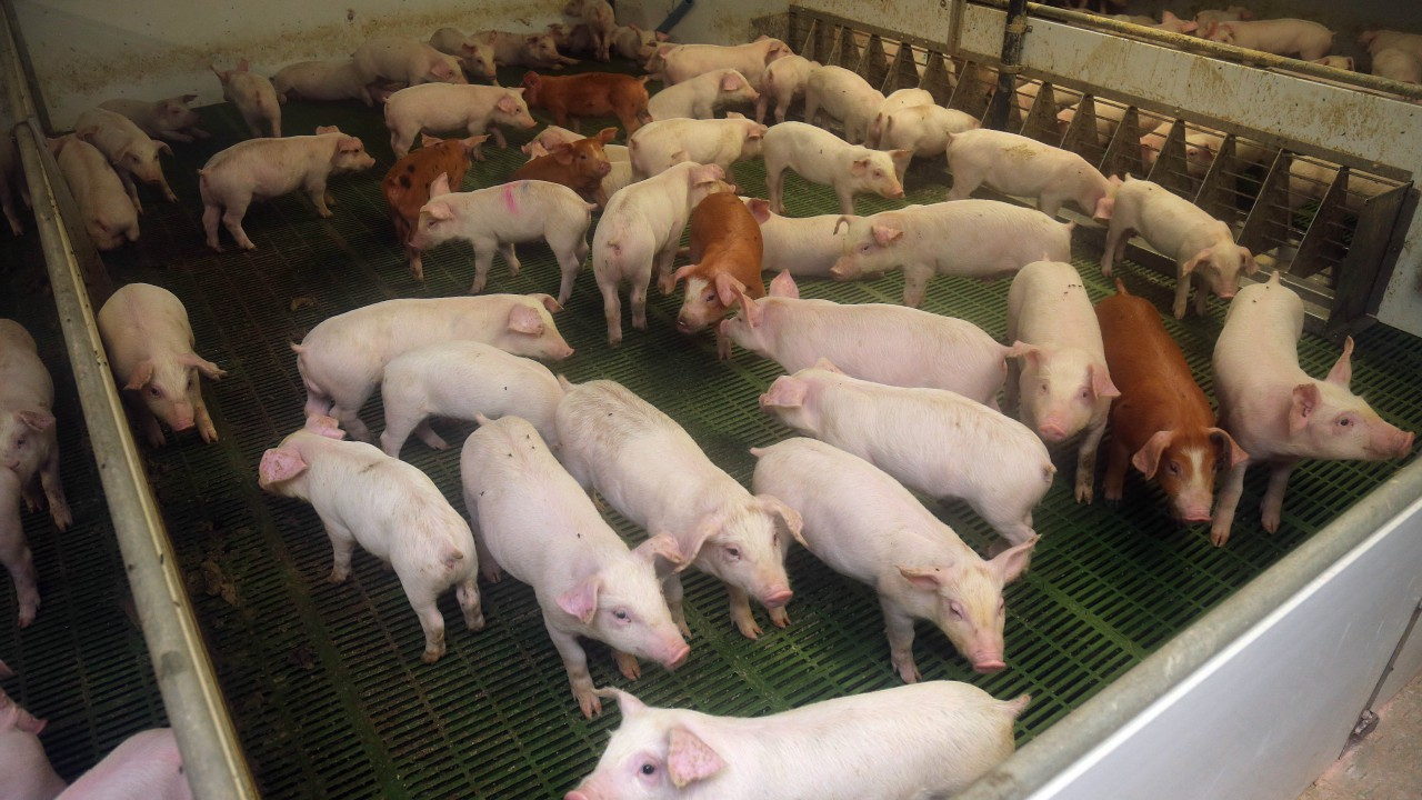 Irish pig prices remain stagnant at below €2/kg mark