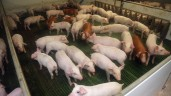 Irish pig prices remain stagnant at below €2/kg mark