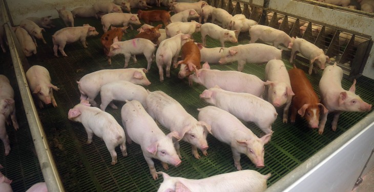 EU pigmeat consumption rises in 2015