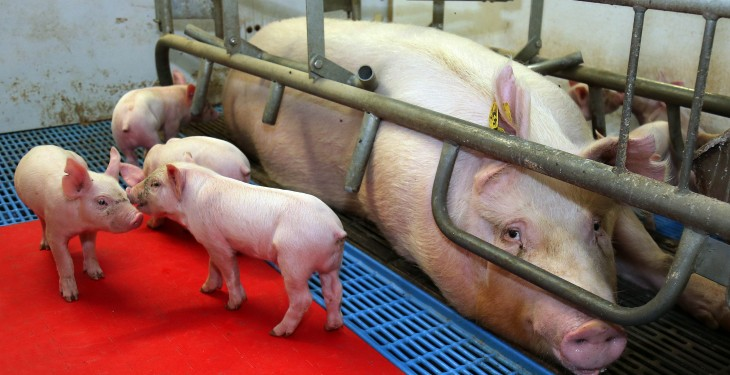 National sow herd has fallen by 5% new figures from the CSO show