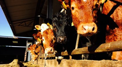 Beef cattle supplies ease slightly but weekly kill still above 35,000 head