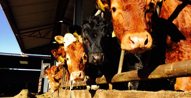 Jump in cattle population driven by high numbers of stock under 24 months