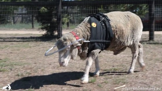 Video: Blind sheep fitted with halo to stop him from bumping into things