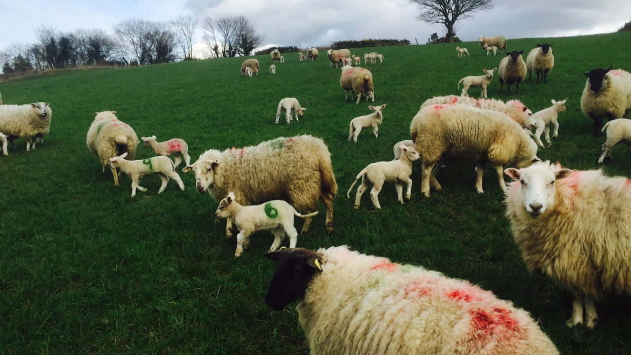 Why allowing a ewe to milk off her back isn't necessarily a bad thing