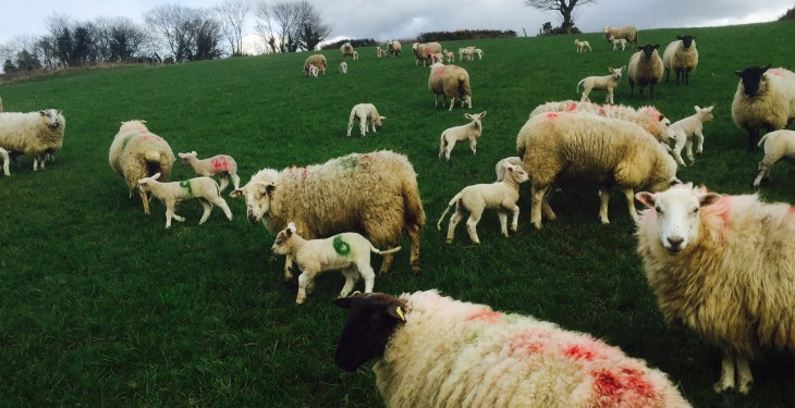 Spring lamb trade largly unchanged despite a 42% rise in throughput